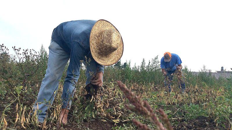 Sader impulsa un nuevo modelo productivo para el cultivo de frijol