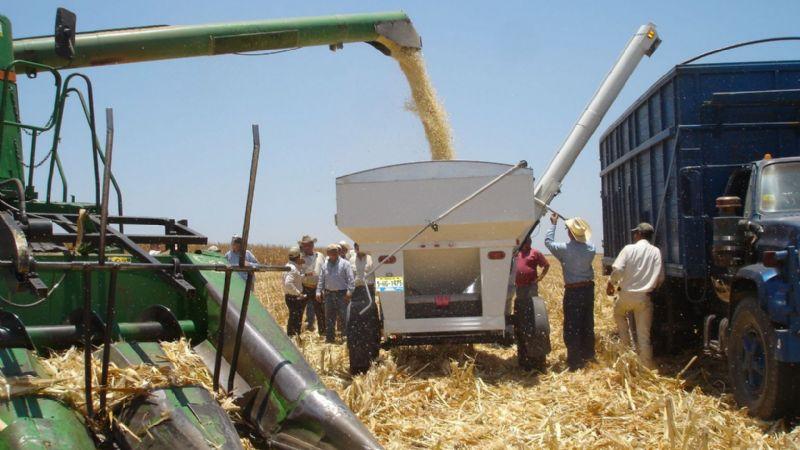 Colpos México crea variedad de maíz blanco con mayor rentabilidad
