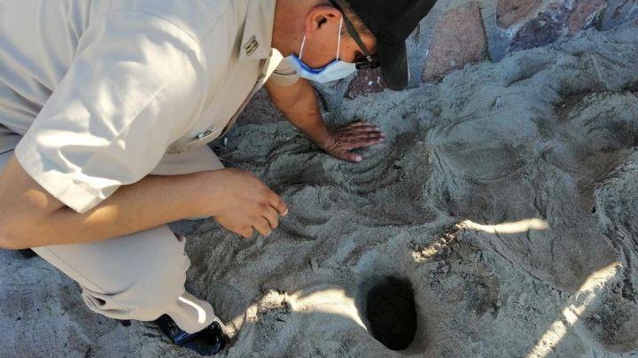 Sonora presencia eclosión de huevos de tortugas golfinas en la Playa Miramar