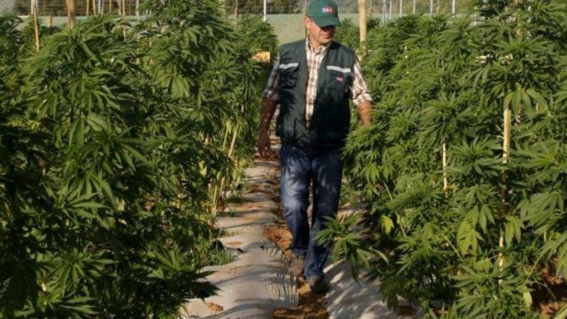 Cannabis podría convertirse en un cultivo más en el Valle del Yaqui