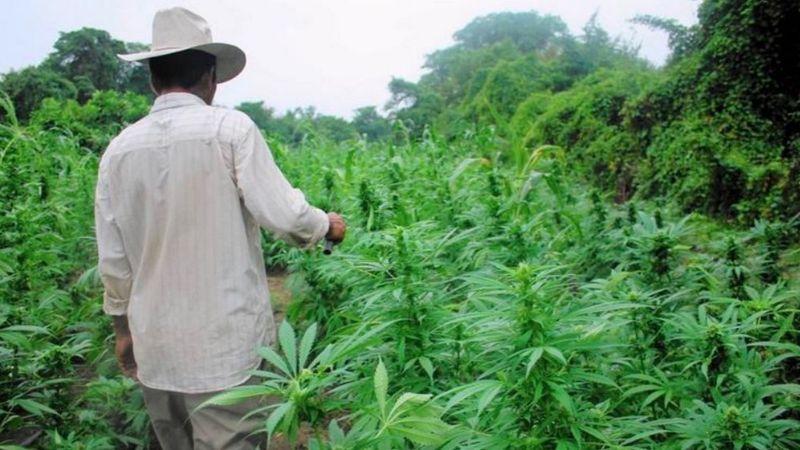El Consejo Nacional Agropecuario ve una oportunidad en el cannabis
