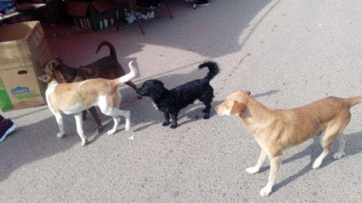 Autoridades de Huatabampo buscan controlar la sobrepoblación canina