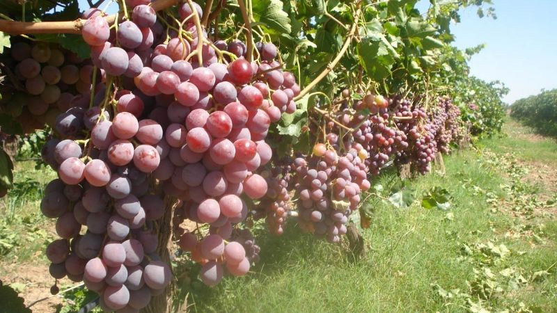 Viticultores de Sonora producirán el 85% de la uva mexicana