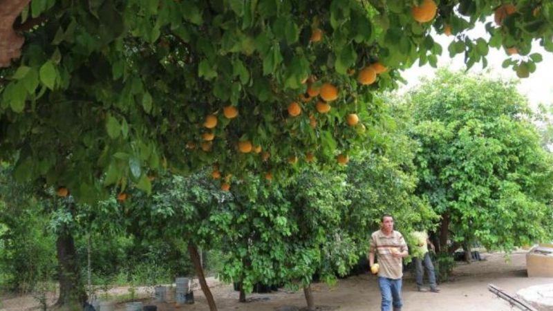 Agro aumenta la reconversión de cultivos en el Valle del Yaqui