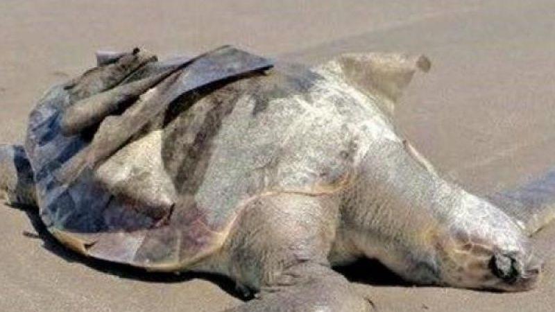 La pesca furtiva en Guaymas amenaza a las tortugas golfinas y no hay culpables