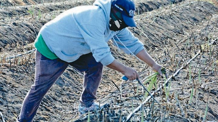 Sonora es líder en exportación de esparrago en México