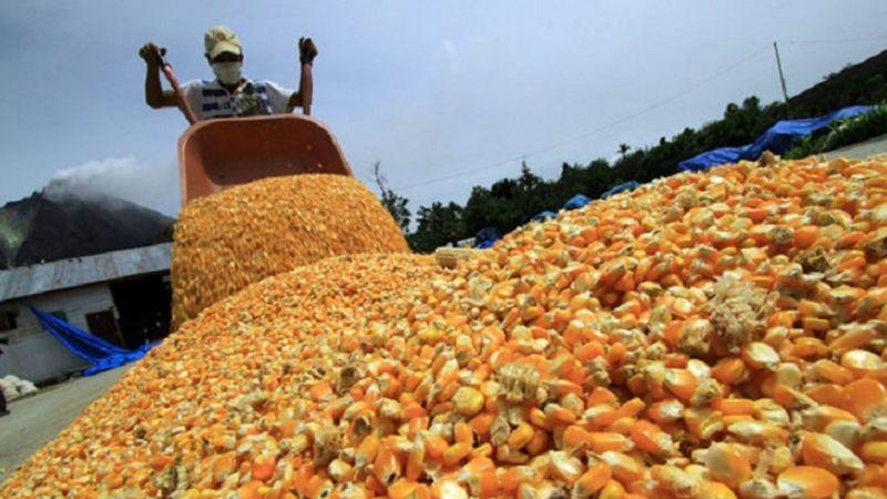 Productores apuestan por el cultivo de maíz en el Valle del Yaqui