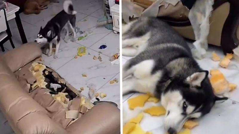 Explosión de ternura: Perro destroza sofá y conmueve con su reacción al ser 'atrapado'
