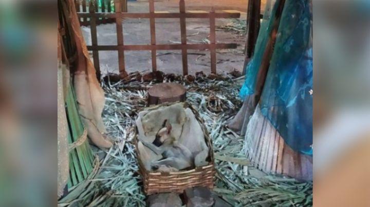 FOTOS: Perrito enternece redes al acostarse sobre un nacimiento y se vuele viral