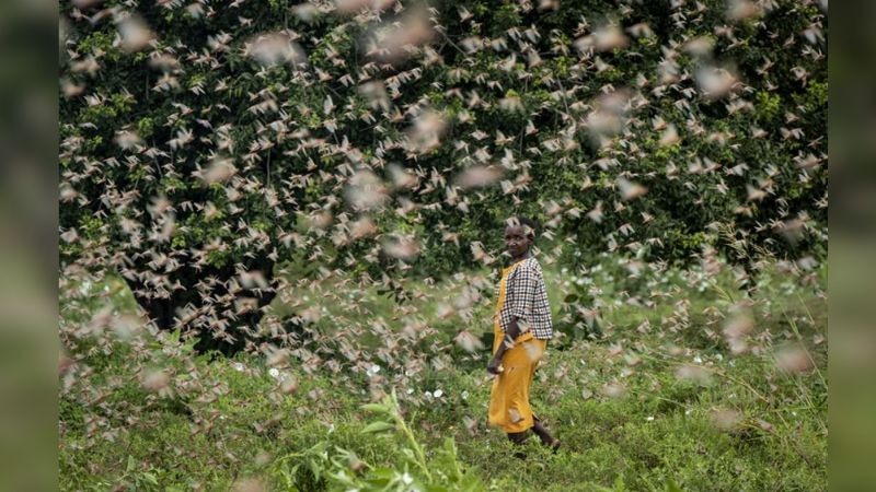 Asia: Plaga de langostas amenaza con dejar a 39 millones de personas sin comida