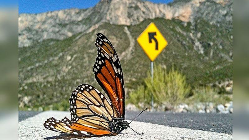Estados Unidos se niega en declarar a las mariposas monarcas en peligro de extinción
