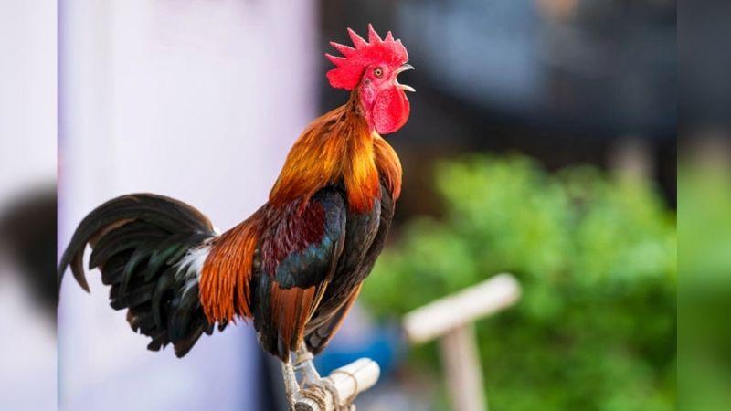 ¡Increíble! Bahtiyar es el nombre del gallo que cantó hasta quedarse sin aliento
