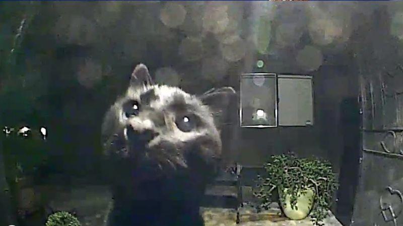 VIDEO: Gato callejero se gana el corazón de todo Internet al saludar a la cámara