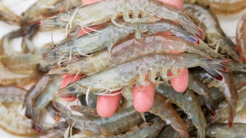 Acuacultura llega a producción récord generan 73 mil toneladas de camarón