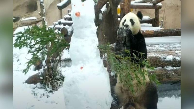 VIDEO: Oso panda enternece las redes al encontrar un amigo en mono de nieve