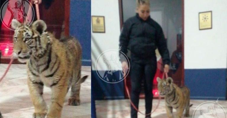 cuidad juarez tiger