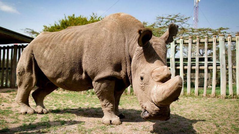 El último rinoceronte macho blanco del norte, Sudán es homenajeado por Google