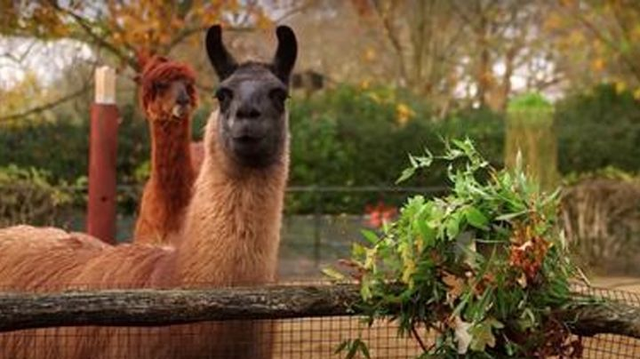 Un par de 'traviesas' llamas se comieron las coronas navideñas que decoraban el zoológico