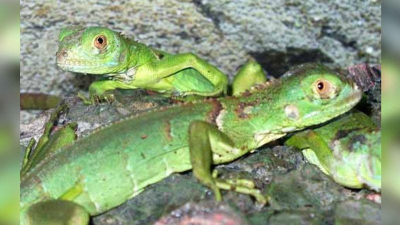 Miami vivirá una blanca Navidad y hasta presenciará una lluvia de iguanas