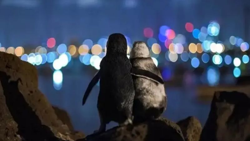 FOTO: la conmovedora imagen de dos pingüinos que se abrazan mientras quedan viudos