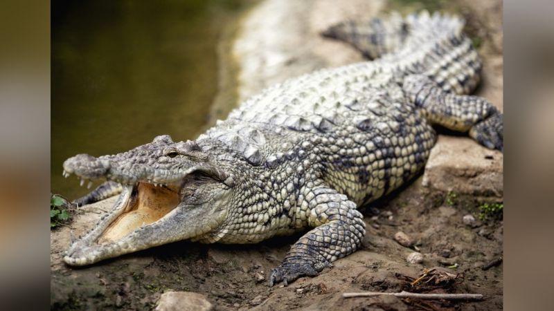Gran cocodrilo de 4 metros es captado al devorar a joven macho más pequeño