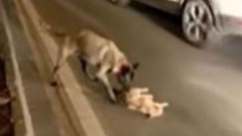 VIDEO: Valiente perrito auxilia y protege a un gato moribundo en medio de la carretera