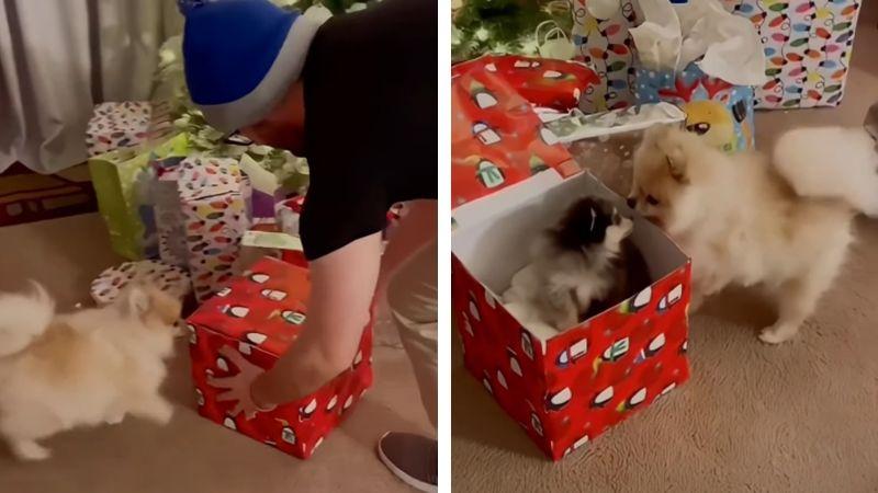 VIDEO: Perro recibe a cachorro como regalo de Navidad y su reacción se vuelve viral