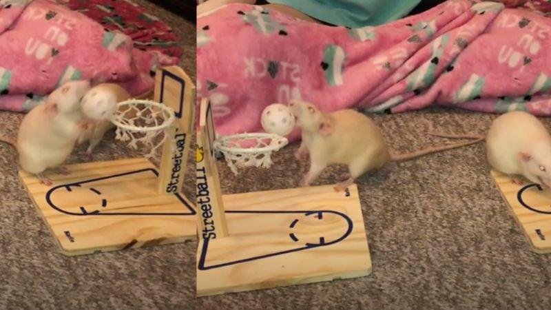 VIDEO: Como unas profesionales, dos ratas juegan basquetbol y redes enloquecen