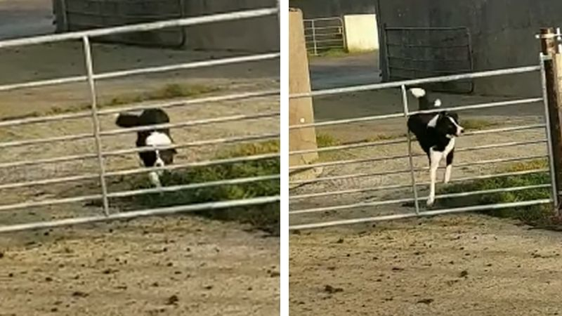 Perro muestra su increíble destreza al deslizarse entre los barrotes de un corral