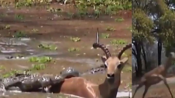 VIDEO: Impala impresiona al lograr salvarse de las fauces de dos enormes cocodrilos