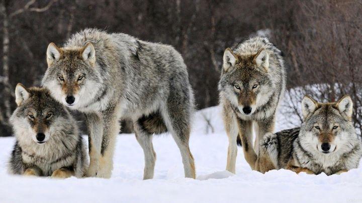 VIDEO: Mujer se topa con manada de 9 lobos camino al trabajo y su comportamiento se vuelve viral