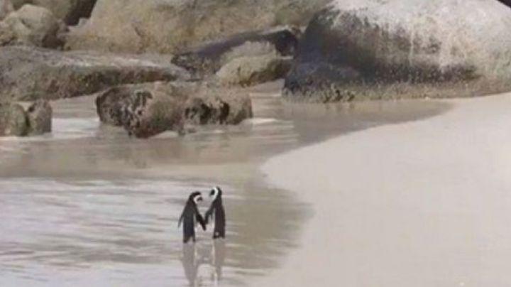 FOTO: Una romántica pareja de pingüinos caminando por la playa y tomados de la aleta