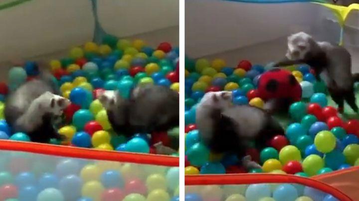 El mejor día de sus vidas: Hurones se divierten como nunca en piscina de pelotas