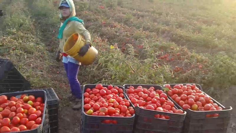 Productores del Valle del Yaqui han dado inicio a la cosecha del tomate