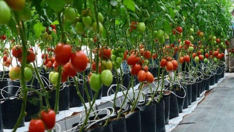 Cosechas de hortalizas siguen sin despuntar en mercado local de Navojoa