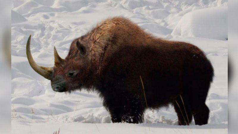 Localizan rinoceronte que vivió entre 20 y 50 mil años; podría ser de 'La Edad de Hielo'