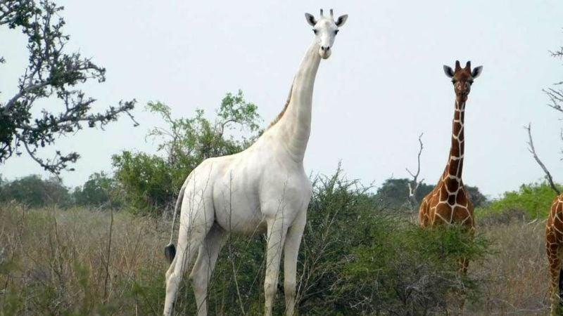 Matan a las únicas jirafas blancas en Kenia; buscan a los responsables