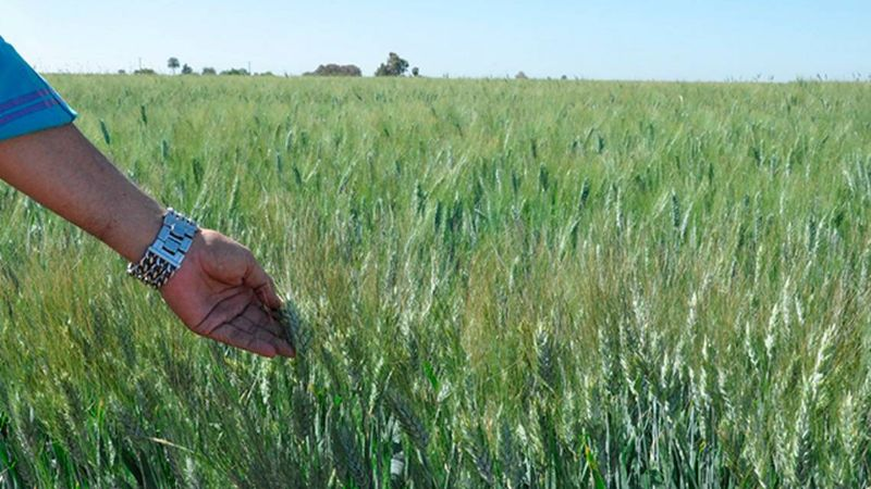 Trigo Ciano M-2018 llega al rescate de la agricultura en el Valle del Yaqui