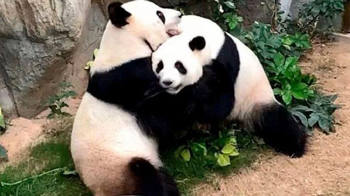 Pandas se aparean por primera vez en 10 años gracias a cuarentena por Covid-19