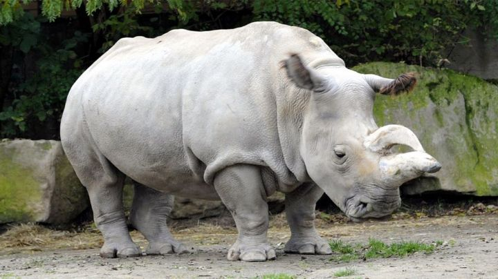 VIDEO VIRAL: Por no estar en cuarentena, joven es perseguido por un rinoceronte