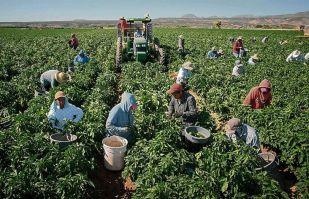 Productores del Valle del Yaqui entran a la recta final en la cosecha de hortalizas