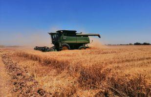 Cosechas de trigo en el Valle del Yaqui, no ha cumplido expectativas