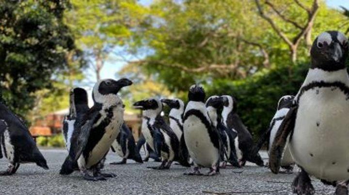 ¡Qué ternura! Pingüinos africanos salen a pasear en un zoo de Singapur para no aburrirse