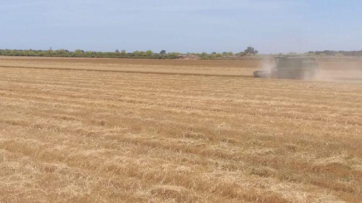 Cosechas de trigo en Huatabampo llevan  un un avance del 85 por ciento