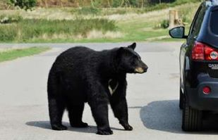 VIDEO: Oso salvaje por poco y consigue entrar a un coche como si fuera suyo