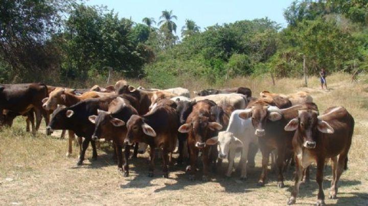 En Navojoa sigue vigente el robo de ganado y van 25 en el año