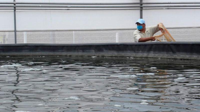 Siguen con trabajos de sanitización en granjas acuícolas de Sonora