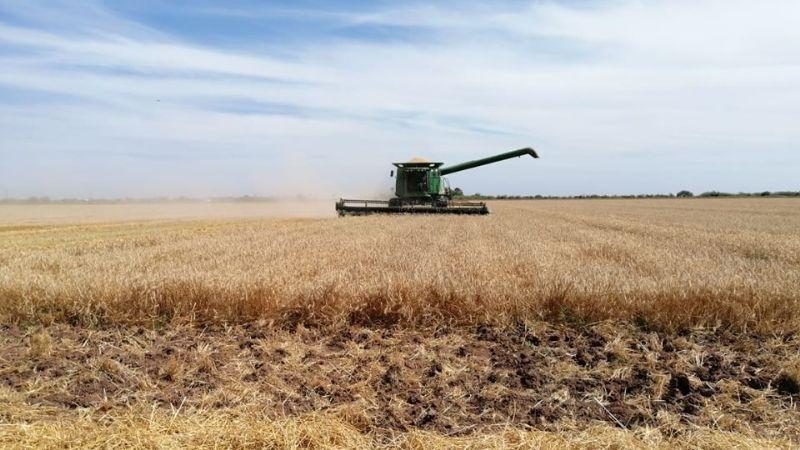 Productores de Sonora podrían rechazar siembra de trigo panificable por falta de apoyo