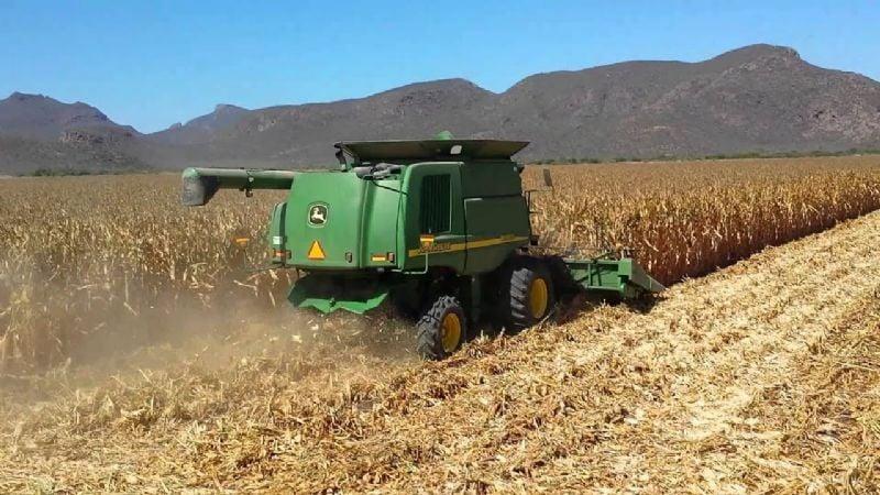 Producción sonorenses de maíz podría quedar por debajo del precio de garantía