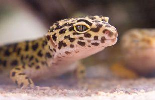 Joven encuentra extraño reptil en el desierto; tiene extremidades similares a un humano
